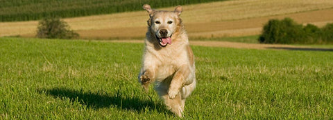 Dog Running in Field