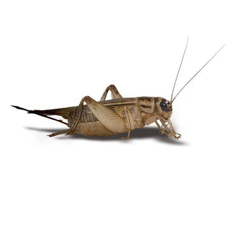 Live Crickets In Store Pick Up Only