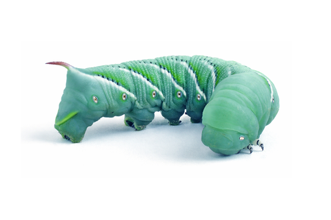 Live Hornworms In-Store Pick Up Only