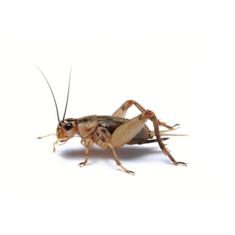 Small Live Crickets