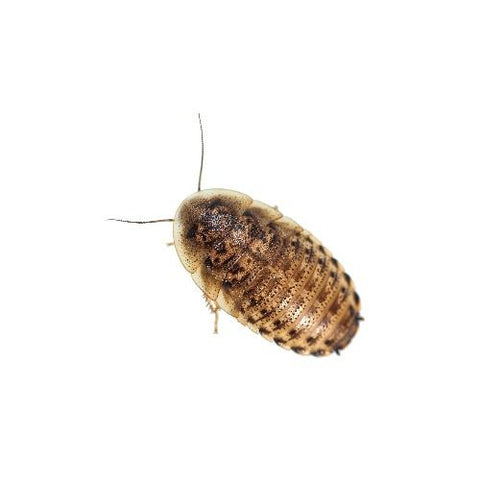 Live Dubia Roaches In-Store Pick Up Only