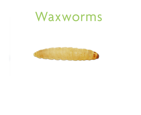 Live Waxworms In-Store Pick Up Only