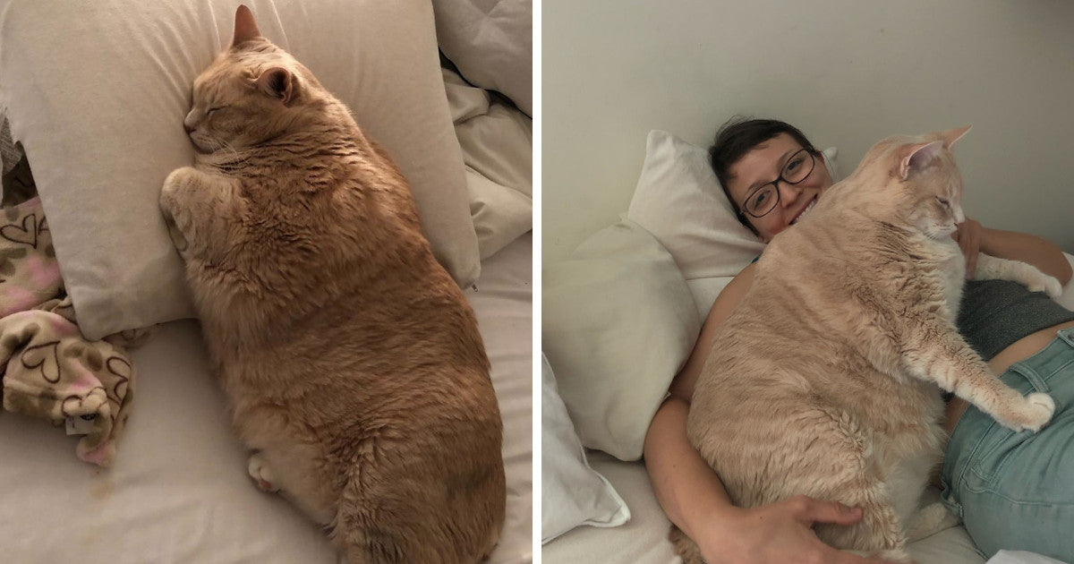 They Fell In Love With A 33 Pound Cat And Decided To Adopt Him So