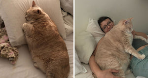 They Fell In Love With A 33 Pound Cat And Decided To Adopt Him So That He Can Start His Journey To Becoming Healthy
