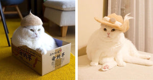 These Cats Wear Hats Made Out Of Their Own Fur and Look Majestic