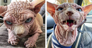 He May Be The Angriest Looking Cat You Will Ever See, But Xherdan The Wrinkly Sphynx Is Also The Sweetest