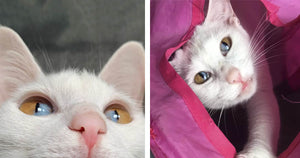Cat Has A Rare Genetic Condition Responsible For Its Unique Two-Toned Eyes