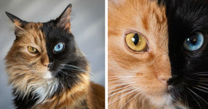 This 'Chimera' Kitty Is The Most Adorable Anomaly To Ever Exist