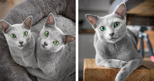 Xafi and Auri: The Russian Blue Kitties With Incredibly Mesmerizing Eyes