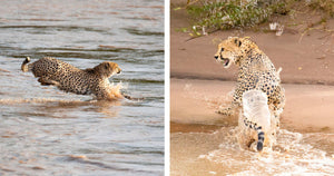 Photographers Captured The Moment When Five Cheetahs Crossed A Wild River Teeming With Crocodiles