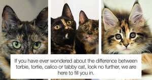 Can You Tell The Difference Between Torbie, Tortie, Calico And Tabby Coat Color? Let Us Help You Learn