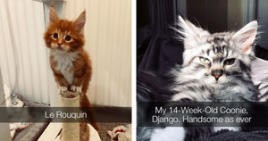 These Super Fluffy Maine Coon Kittens Are SO Small It's Hard To Believe They Get SO Big
