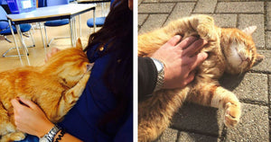 Ginger Cat Visits University Campus Every Day And Helps Stressed-Out Students With Cuddles