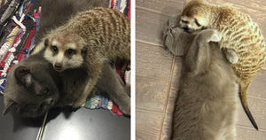 These Pictures Of A Kitty And A Meerkat Cuddling Are All You Need To Get You Through The Day