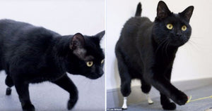 Amputee Cat Gets a New Lease On Life When He Starts Wearing His New Bionic Legs