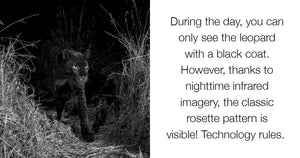 Photographer Successfully Photographs The African Black Leopard For The First Time In 100 Years