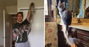 This Maine Coon Is About To Break A World Record For The Longest Fluffiest Tail