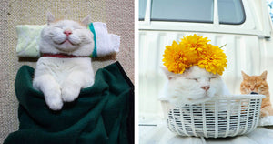 35 Photos Of Shiro, The Most Relaxed Cat In The World, Who Passed Away at Age 18