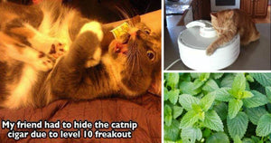 Cats High On Catnip Is The Funniest Thing You'll See All Week