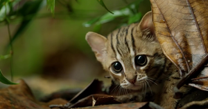 The Cutest Thing You Will See Today Is The World's Tiniest Wild Cat