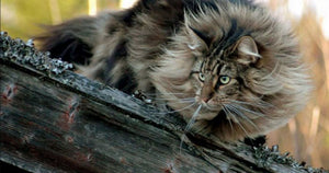 Fascinating Facts About Norwegian Forest Cats