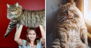 16 Ridiculously Large Cats That Will Make You Do A Double Take