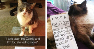 Cats Being Shamed For Being Jerks By Their Owners In The Best Possible Way
