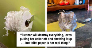 Mischievous Cat Is On a Mission To Destroy All The Toilet Paper Stash In The House