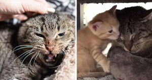 Angry Senior Feral Cat Hates Everyone Until He Meets These Rescue Kittens
