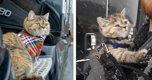 Meet Tora, A Trucker Cat That Has Traveled All Over The US With Her Human