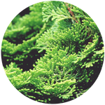 Hinoki Branch (Chamaecyparis obtusa) Essential Oil