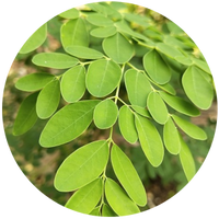 Moringa (Moringa oleifera) Seed Carrier Oil, Cold Pressed