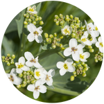 Abyssinian (Crambe abyssinica) Seed Carrier Oil