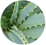 Aloe Vera Juice Extract - Water Soluble