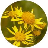 arnica montana macerated carrier oil