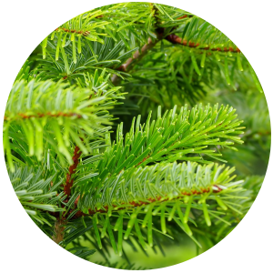 Black spruce (Picea mariana) Essential Oil