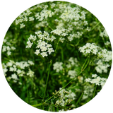 Caraway (Carum carvi) Essential Oil