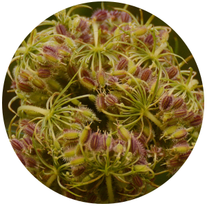 Carrot seed (Daucus carota) Essential Oil