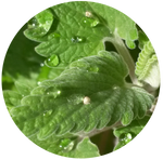Catnip (Nepeta cataria) Essential oil