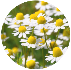 Chamomile German (Matricaria recutita) Essential Oil