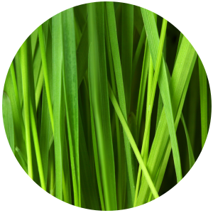 Citronella (Cymbopogon nardus) Essential Oil