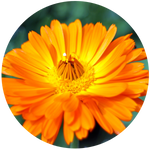 Calendula (Calendula officinalis) Macerated Oil