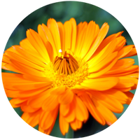 Calendula (Calendula officinalis) Macerated Oil-Organic