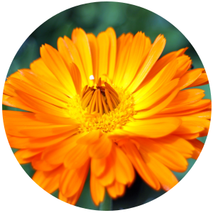 Calendula (Calendula officinalis) Carrier oil