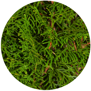 Cypress (Cupresus serpenvirens) Essential Oil