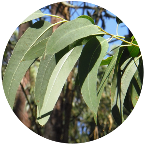 Eucalyptus Lemon (Eucalyptus citriodora) Essential Oil