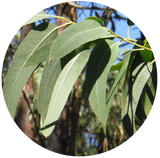 Eucalyptus (Eucalyptus globulus) Essential Oil-China