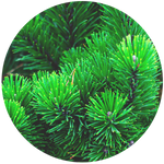 Fir-balsam (Abies balsamea) Essential Oil