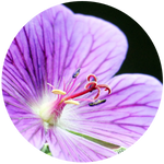 Geranium (Pelargonium graveolens) Essential Oil- China