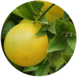 Grapefruit Pink (Citrus paradisi) Essential Oil